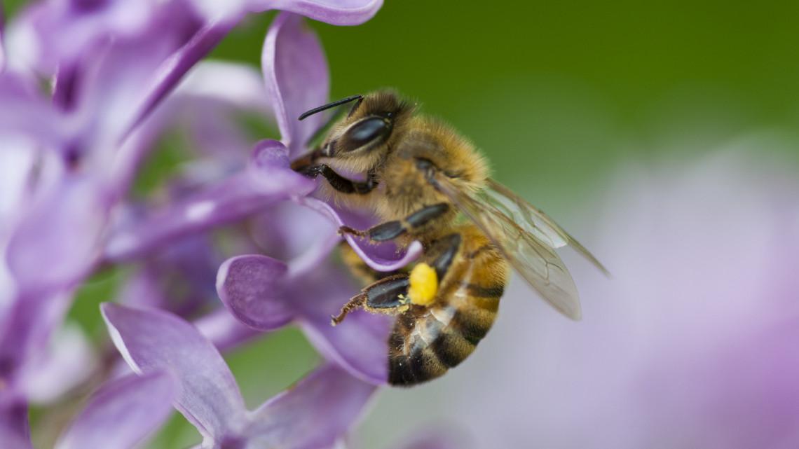 Ezért pusztulhatnak ki az európai méhek: hihetetlen dolgot fedeztek fel a kutatók