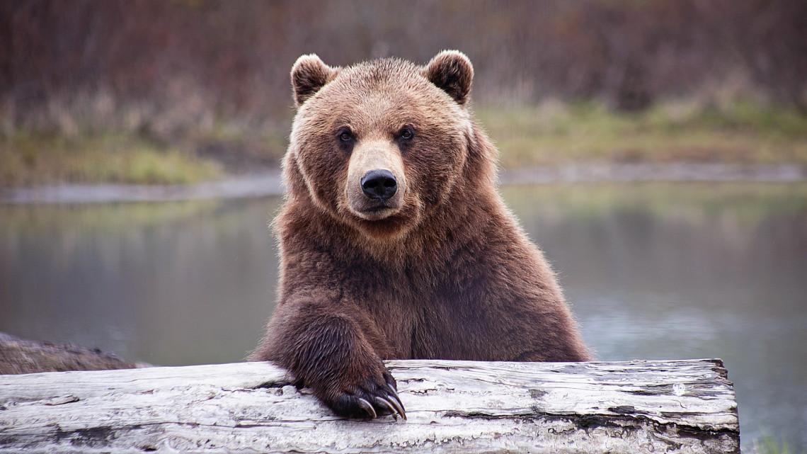 Nekiment a medve a tusnádfürdői kürtőskalácsos épületének: nagy buli volt aznap éjjel