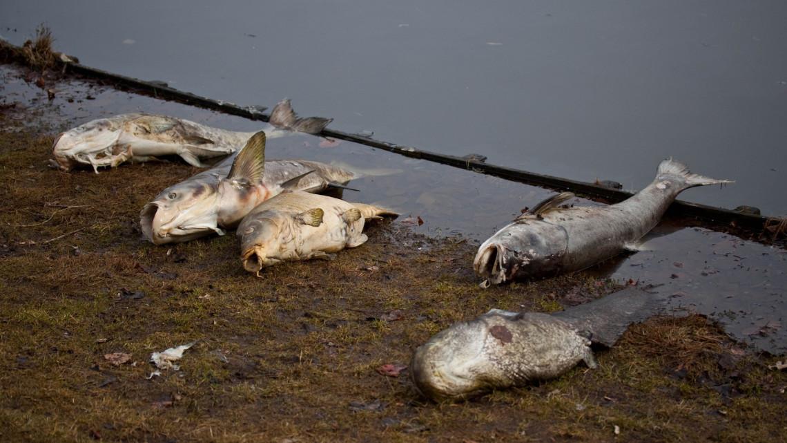 Büdösödik a víz, pusztulnak a halak: mi történik a Vértónál?