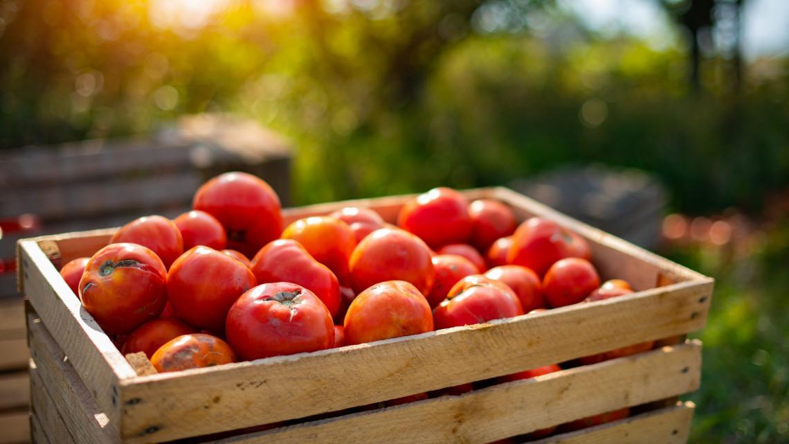 Veszély fenyegeti a hazai paradicsomot és paprikát: ehetetlenné válhat a termés?
