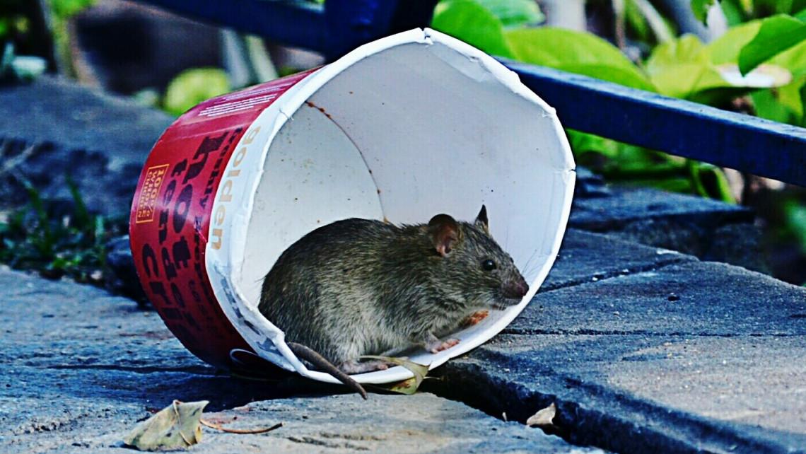 Támadnak a patkányok: mutatjuk, hol a legrosszabb a helyzet az országban