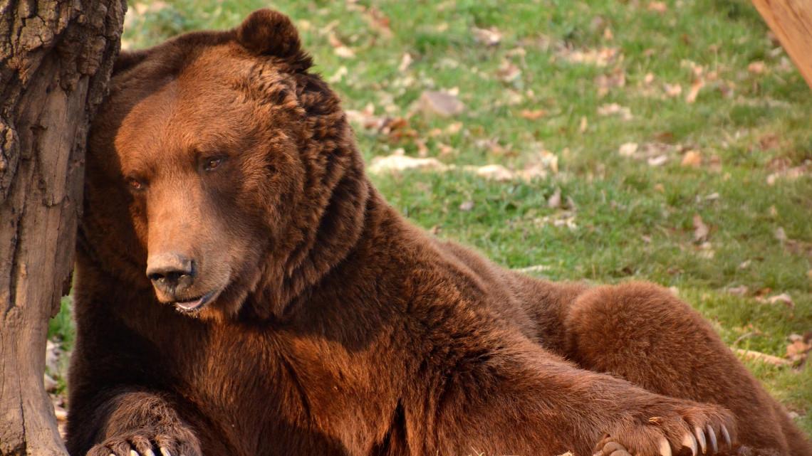 Tibor már az örök vadászmezőkön: meghalt a vadaspark 50 éves barna medvéje