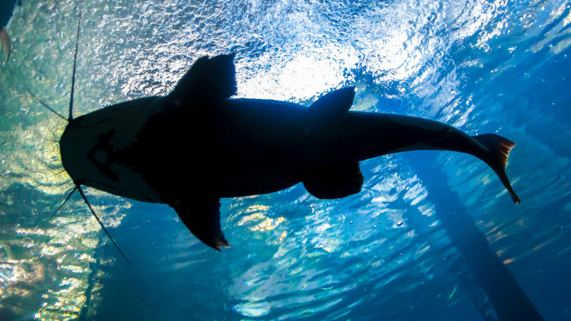 Elképesztő küzdelem a brutális halszörnnyel: fotón és videón a gigahal