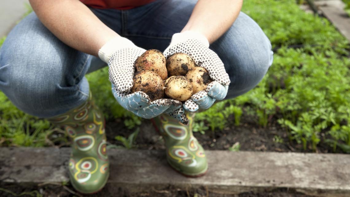 Nagy bajban a magyarok kedvenc zöldsége: mi lesz így a hazai burgonyával?