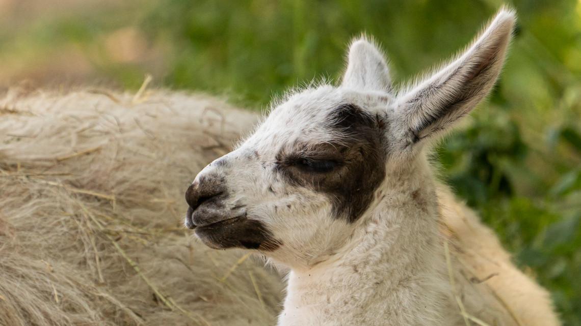 Ismét kiakadt az állatkerti cukiságmérő: az újszülött lámacsikó is hunyorog a hőségben