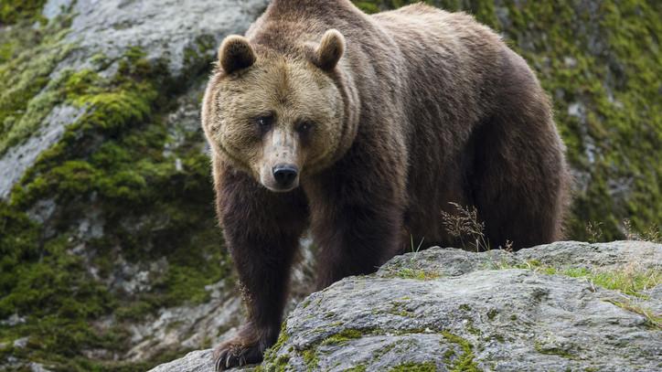 Sokkolta a látvány: két medvefej bukkant fel a lány előtt kutyasétáltatás közben