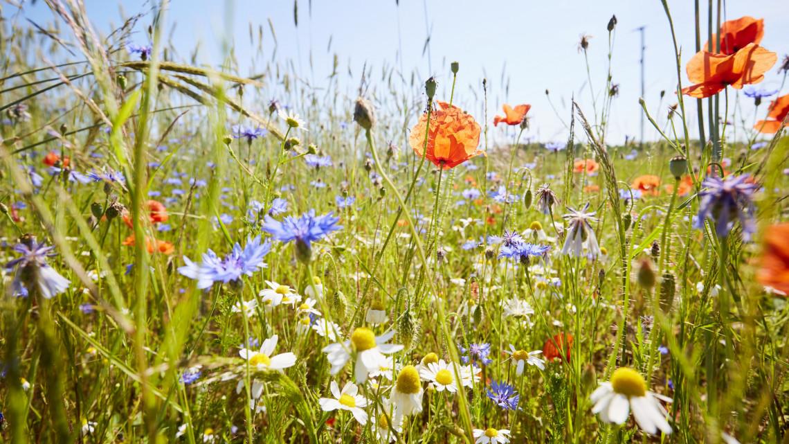 Burjánzó gaztenger vagy hasznos zöldfelület: mire jó a méhlegelő?