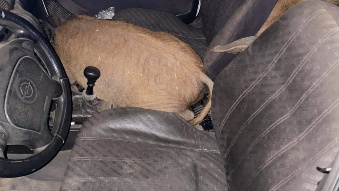 Dobtak egy hátast a rendőrök is: úgy visítottak az autóban a lopott mangalicák