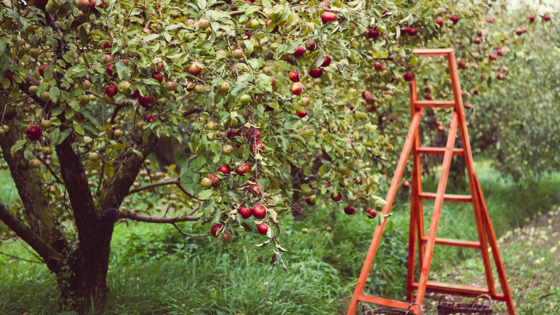 Veszélyben az ősz slágergyümölcse: ezért kerüld a lengyel almát a piacokon