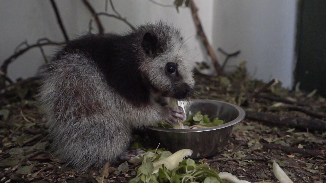 Sosem találod ki, mi ez a cukiság: újabb ritka faj érkezett a vidéki állatkertbe