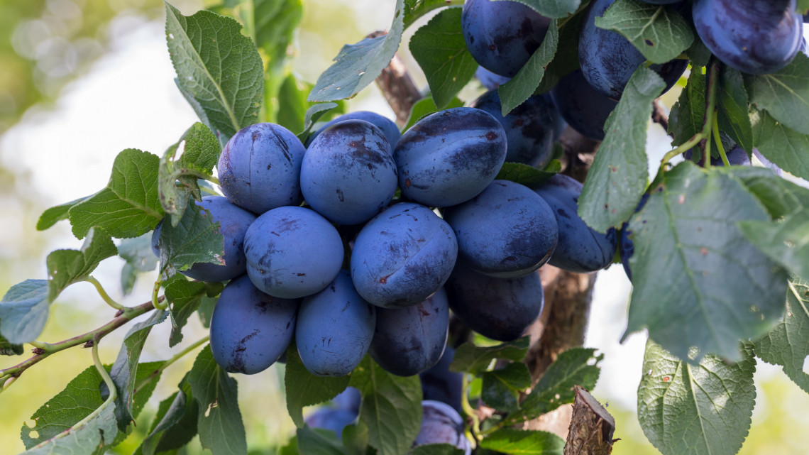 Fillérekért kapható a piacon ez a gyümölcs: egészséges és finom lekvárjának nincs párja