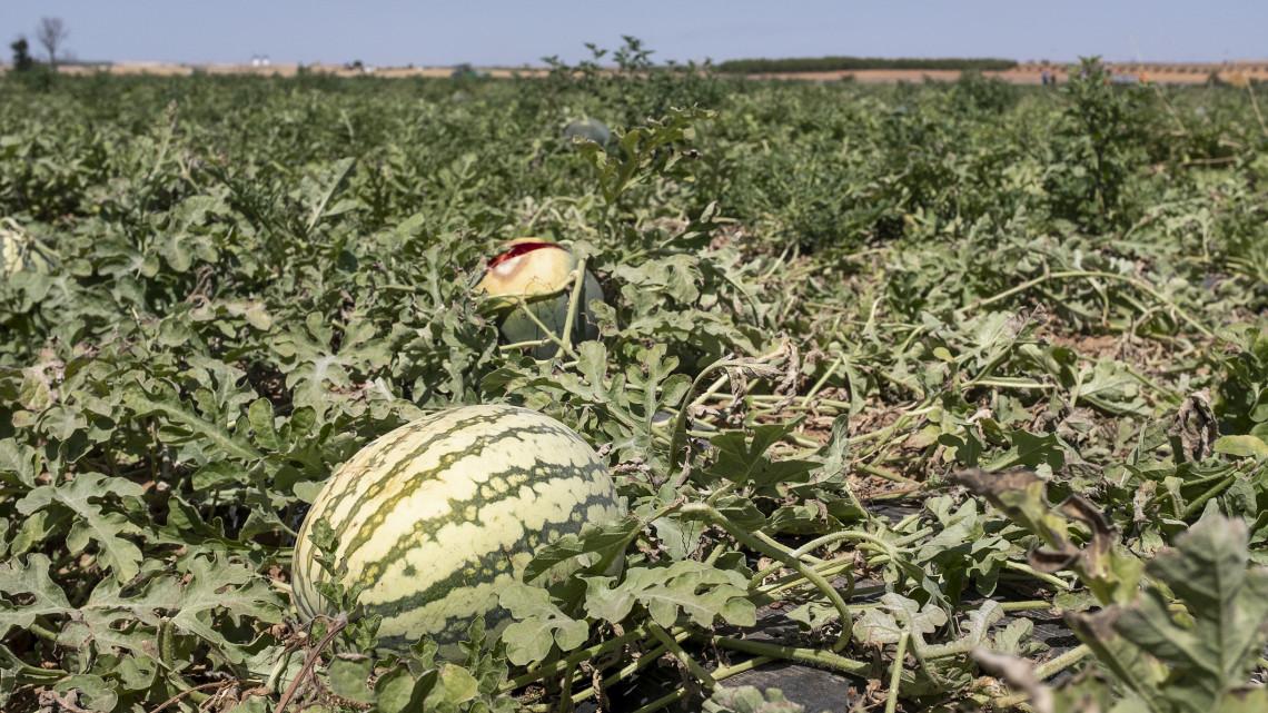 Kiakadtak a termesztők: ingyen sem kell senkinek, ott rohad a földeken a magyar dinnye