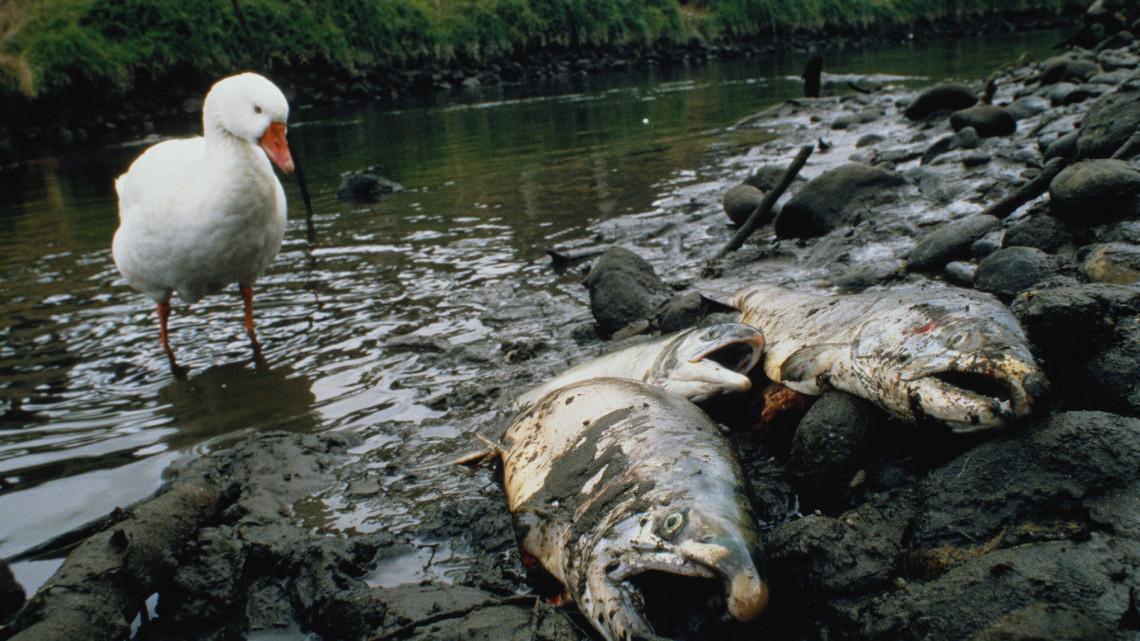 Végre megindulhat a vízpótlás: 110 mázsánál több hal pusztult el eddig a Velencei-tóban