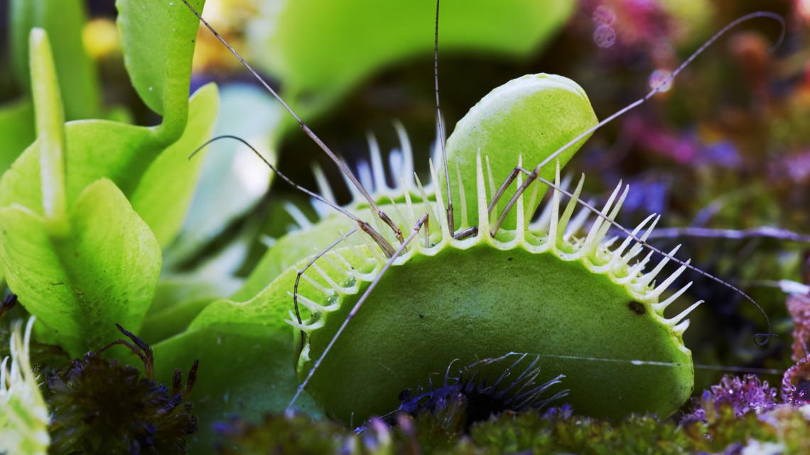 Nem mindennapi látványban lehet részed: megmutatják az összes húsevő növényt