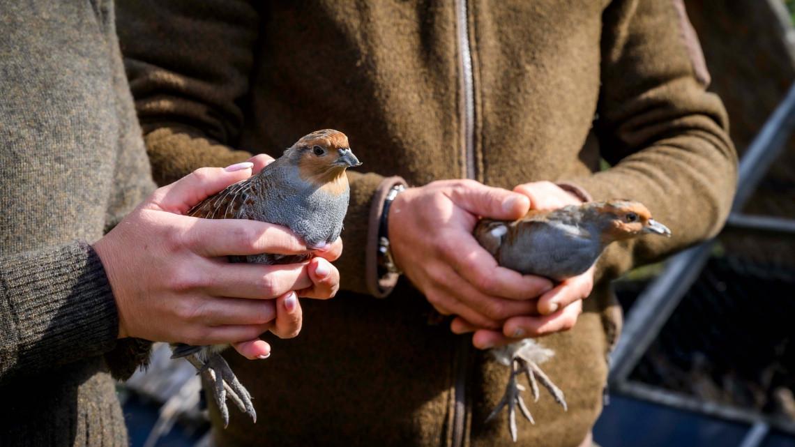 Fajtamentő program indult: ezt a madarat minden vadászterületen meg kell védeni