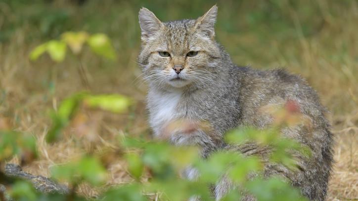 Különleges akciót indítottak: kamerák segítségével figyelik a vadmacska-populációt Magyarországon