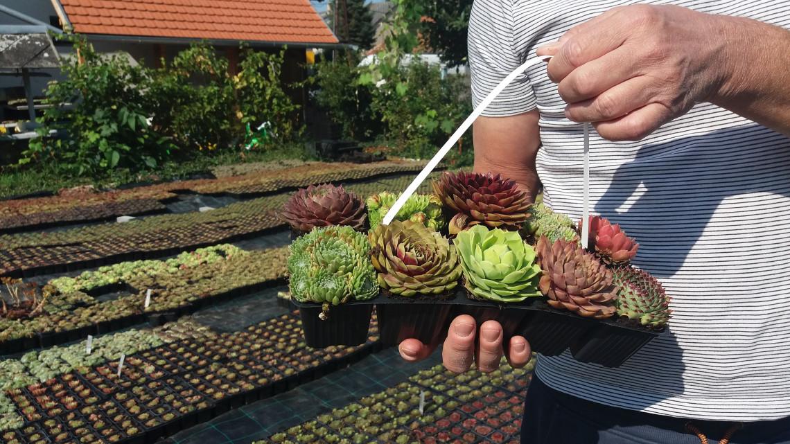 Tömegek vásárolják ősszel ezt a növényt: igénytelen, kezdő kertészeknek kötelező