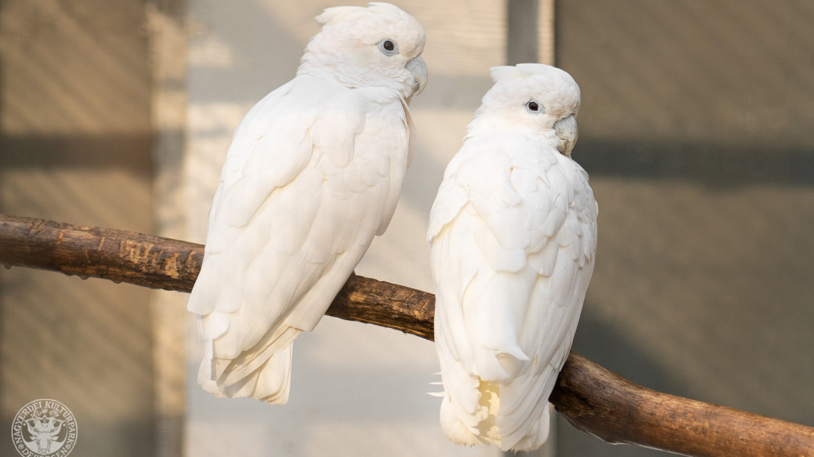 Újabb ritkaság érkezett vidékre: hófehérben tündököl a csodás pár