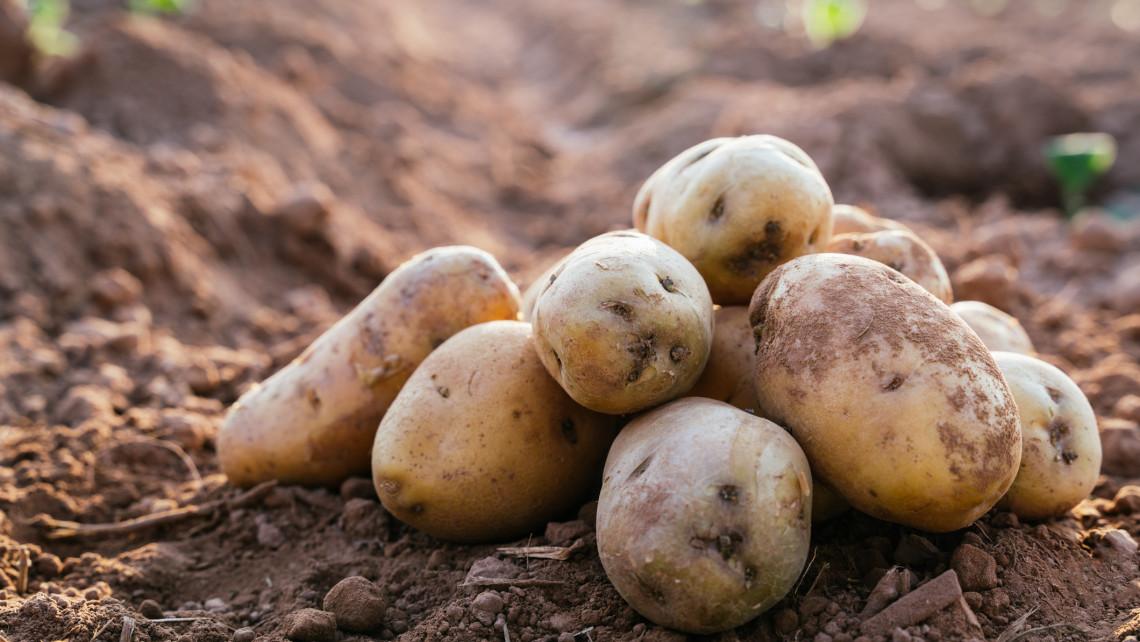 Kiakadtak a termesztők: ott rohad a földeken a magyar zöldség, gyümölcs, ingyen sem kell senkinek