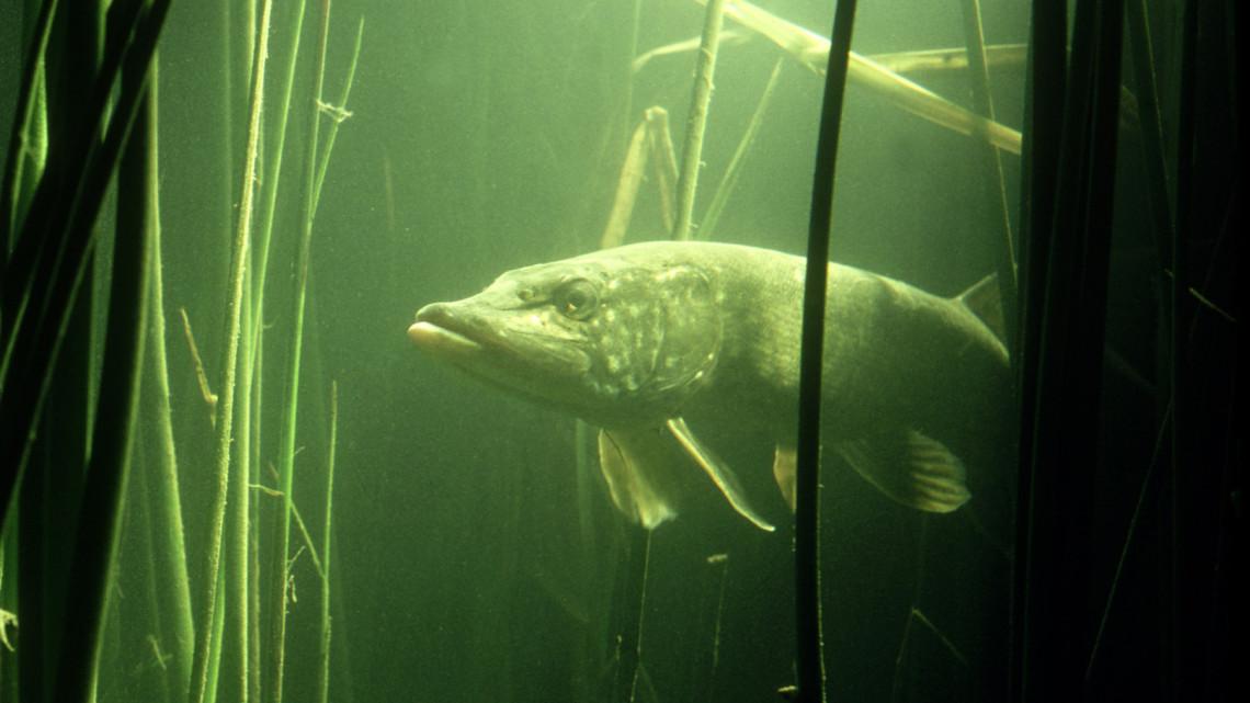 Nem semmi mázlija volt a horgásznak: fotón mutatjuk a gigantikus csukát