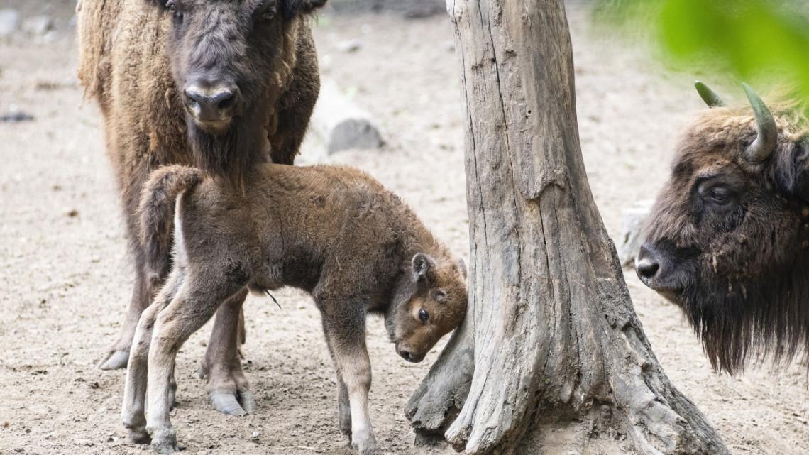 Ez aztán a jó hír: sikeres a bölények visszatelepítése hazánkban is